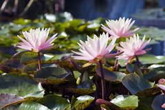 water lilies (Lucie Maru) Tags: flowers flower summerflower plant plants garden waterlilies waterlily pond flowersonpond float floating onwater blooming blooms tranquil