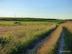 Asse (BE) - Bekkerzeel (Bvaerrts) Tags: asse bekkerzeel vlaams brabant vlaanderen flanders belgium belgi belgique belgie be vlaamse rand groene brabantse kouter zellik brussel brussels bruxelles bxl field cow assche pajottenland landscape