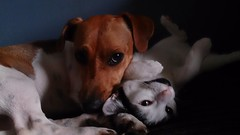 Lily and Ruby..... (wazzle1) Tags: dog cat jackrussell terriers pets mammels love cute