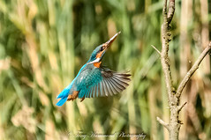 Kingfisher Flying onto Perch (phat5toe) Tags: kingfisher alcedoatthis birds avian feathers wetland wildlife nature wigan flashes greenheart nikon d300 sigma150500