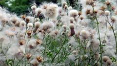 Fluffy (Eddy Allart) Tags: nature flowers natuur