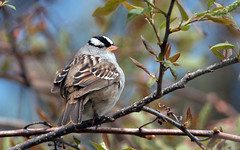 IMG_1045 White-throated Sparrow (suebmtl) Tags: whitethroatedsparrow longpointprovincialpark ontario springmigration zonotrichialeucophrys