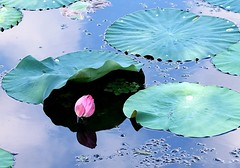 Lotus 02 (itsuo.t) Tags: lotusflower lotus summerflower bloomsinpond ハスの花 蓮 蓮池
