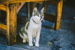 Cat_1 (hans-johnson) Tags: cat kitten animal alive neko mao chengdu sichuan china blue white canon eos 5d3 vsco 猫 ねこ にゃんこ