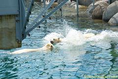 ijsberen_14 (Arnold Beettjer) Tags: wildlands emmen dierenpark dierentuin dierenparkemmen ijsbeer ijsberen polarbear