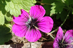 Dragon Heart Geranium (Brenda Dobbs) Tags: geranium flower plant natuer outdoors dragonheart