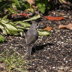 Tufted Titmouse (Jersey Camera) Tags: titmouse tuftedtitmouse baeolophusbicolor