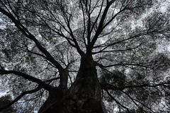 Natur beauty (Pablouno) Tags: black tamas fujinon xf1024 branches flickrelite qualitypictures nature naturaleza natur fujifilm arbol tree shadows sombra bogota dark outside flickr contrast beauty