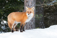 Red Fox (NicoleW0000) Tags: red fox wild carnivore nature wildlife photography