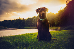 Ziggy (Greig Reid) Tags: grass portrait composerpro cute banchory image young grain canon depthoffield 5d trees picture outside pet outdoors sunlight eos dof riverdee chocolate greigreidphotography face water lensbaby river landscapeformat deesideway crathes twist60 sun chocolatelabrador lab labrador naturallight backlit photograph ziggy photo scotland dog eyes camera retriever photoshop family availablelight lightroom walk