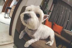 Snouth (dr3zga) Tags: canon 350d fisheye sigma 10mm f28 prime apsc dc dog closeup chill muzzle snouth maltese