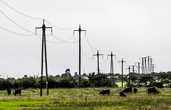 Electricity . Poles . (CWhatPhotos) Tags: wood light shadow shadows cwhatphotos view photographs photograph pic pics photo photos images image foto fotos that have which contain with canon 5d mk iii eos dslr sacriston county durham summer august 2016 time 100mm prime lens zoom tree trees colors colours field farm telegraph poles pylon pylons electric cows livestock distant distance grey sky skies