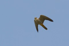 DSC_5573 boomvalk (Falco subbuteo)
