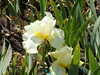 iris Total Recall transplanted  May 2 2015