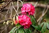 Rhododendron flower (satabpal) Tags: kedar tungnath chopta