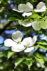 IMG_0071 (jnshaumeyer) Tags: arboretum dogwood usnationalarboretum