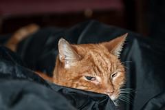 Ginger Cat on bean bag (stephanrudolph) Tags: uk england london animal cat nikon flash indoor gb handheld 2470mm 2470mmf28 d700 2470mmf28g