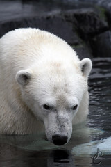 Seaworld San Diego: Szenja (Polar Bear) (Jasmine'sCamera) Tags: california bear cold sandiego polarbear polar seaworld seaworldsandiego