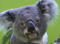 that Monday morning look (ucumari photography) Tags: sc animal south columbia koala carolina april marsupial riverbankszoo 2015 specanimal ucumariphotography dsc1197