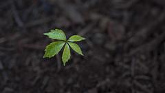 Simple Pleasures (Bereno DMD) Tags: flower detail macro tree nature leaves forest garden leaf dof widescreen seed growth growing simple seedling greem