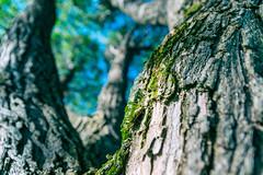 Iisalmi (Tuomo Lindfors) Tags: tree suomi finland bark puu kaarna iisalmi niksoftware viveza theacademytreealley analogefexpro paloisjärvi