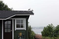 IMG_0516 (www.ilkkajukarainen.fi) Tags: sea bird window landscape seagull sauna maisema archipelago stuga åland lokki ahvenanmaa lokit kumlinge venevaja merimaisema kumling agroupofisland