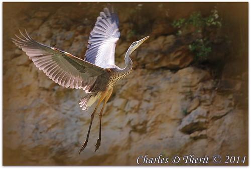 Taking Flight - Juvenile Great Blue Heron