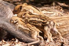 Wildpark Het Aardhuis (RunningRalph) Tags: netherlands zoo nederland wildzwijn veluwe dierentuin gelderland wildpark wildboar hoogsoeren aardhuis uddel