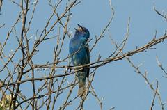 Indigo Bunting (Zone~V) Tags: bird june kentucky birding indigo bunting passerina cyanea