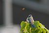 Having a moment together... (Levina de Ruijter) Tags: amsterdam birds animals canon nederland thenetherlands vogels dieren pimpelmees bluetit zeeburgerdijk kenko14xtc canonef300mmf4lisusm canon1dmarkiii levinaderuijter