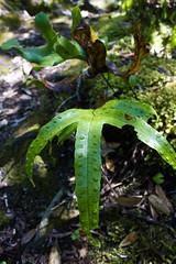 Rangitoto Fern (Sparkles Whitaker) Tags: auckland floraandfauna rangitotoisland 2015 rotoruaisland