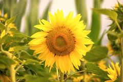 lovely little sun in the field (Florian Grundstein) Tags: sunflower sunny yellow field nature flower blossom macro feld draussen natur nahaufnahme nikon fx d610 sigma 105mm os ex