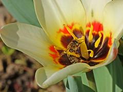 Rafz_019_07042010_10'00 (eduard43) Tags: biene bee collecting sammeln nektar nectar natur nature tiere animals