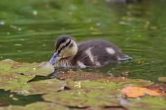 Mallard duckling (Kay Musk) Tags: mallard duck ducklings pond wild wildlife nature nikond3200 essex