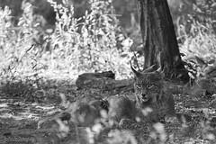 Luchs / lynx (AchimSchmidt) Tags: blackandwhite blancoynegro monochrome blackwhite schwarzweiss lynx tier noireetblanc luchs noretblanc tierfotografe