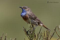 Ruiseor pechiazul (Luscinia svecica) (jsnchezyage) Tags: naturaleza bird fauna birding ave pjaro lusciniasvecica ruiseorpechiazul
