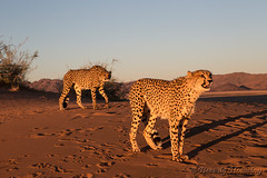 164-Cheetah_Dunes-015 copy (Beverly Houwing) Tags: africa sunset red mountains face closeup standing cat feline desert pair stare cheetah sanddune namibia