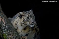 Snow leopard - Olmense zoo (Mandenno photography) Tags: dierenpark dierentuin dieren animal animals leopard snow zoo olmense olmensezoo belgie belgium bigcat big cat snowleopard