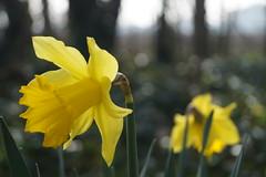 Spring radiance (christianbartlett) Tags: flowers light sunlight plant flower nature yellow closeup forest woods close bokeh outdoor daffodil lowsun closerange
