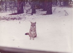 Coyote Feb 20, 1972; Yosemite Valley; photo by my mom taken through car window. (BobcatWeather) Tags: mammal canid canidae canine canislatrans coyote yosemitevalley yosemitenationalpark california usa bobcatweather georgiastigall