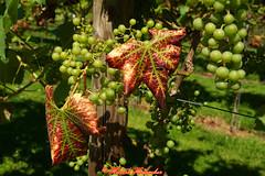 Weinbltter Weintrauben (hubert_hamacher) Tags: weinbltter rebstock wein weintrauben sonne