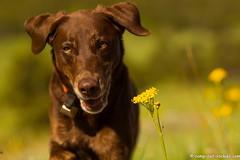 My Girl (KB RRR) Tags: dog colorado rockymountains frontrange chocolatelabrador shyla