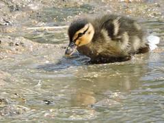Mallard duckling (deannewildsmith) Tags: earthnaturelife