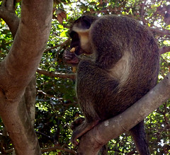Gambia 10 (megegj)) Tags: nature monkey gambia gert
