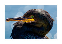 A Shag - Farne Islands (Ken Walker Photography) Tags: farneislands faiuna ocean nature coastal birds atlantic animals shag northeast england sea