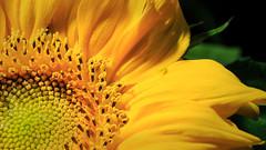 Walking on Sunshine (Michael Angelo 77) Tags: sunflower insect bug green color yellow macro
