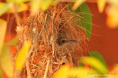 Palestine Sunbird Nesting (Tevaironi) Tags: wildbirds holylandbirds israelibirds nature bird sunbird nectariniaosea  palestinesunbird