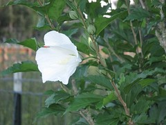 IMG_4393 (daruvante) Tags: plant flower petals leaves closeup whiteflower sideview