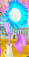 Felicidades Maelia, happy birthday (Carlos Lubina) Tags: 7dwf sunflower girasol turquesa turquoise happybirthday flora
