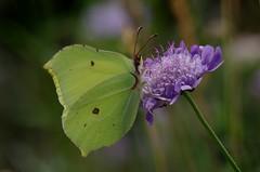 IMGP6046 Brimstone, Devil's Dyke (Burwell, Cambs), July 2016 (bobchappell55) Tags: insect butterfly devilsdyke cambridgeshire grassland brimstone